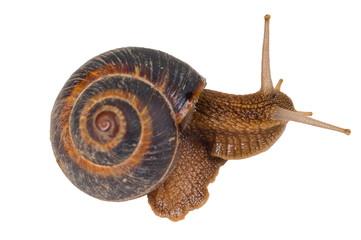 Grape snail (Helix pomatia)