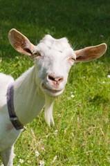 White goat.