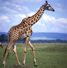 Giraffe_114791