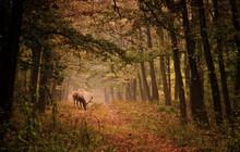 Kronhjort i en skog