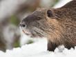 Ragondin dans la neige 2