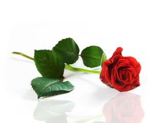 Red fresh rose on white