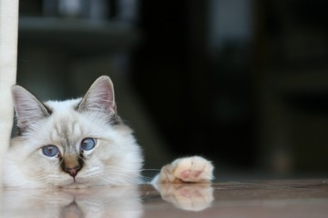White Cat looking indecisively