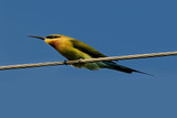 Blue Tail Bee Eater poster