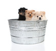 Pomeranian Puppies in an Old Washtub