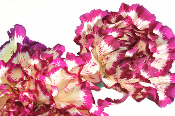 Close-up of a variegated carnation flowers isolated on white