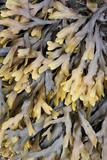 Kelp - maritime weed in Iceland poster