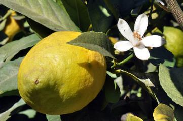 limón y flor