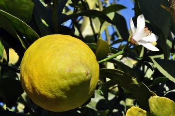 limón y su flor