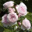 Englische Rose; Geoff Hamilton