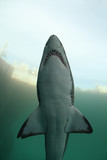 Underwater Shark - 19475746