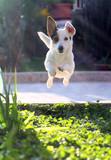 Jack Russel Jump 2
