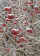 eingeschneite Vogelbeeren im Winter