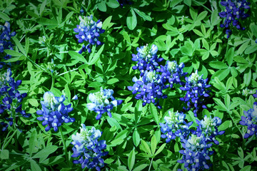 Field of Bluebonnets Close Up