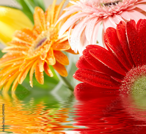 Closeup photo of varicoloured daisy-gerberas