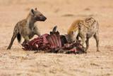 Hyäne am Gnu Fressen