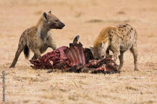 Fotobehang Hyena Hyäne am Gnu Fressen
