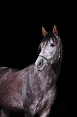 grey arab horse on black