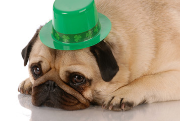 fawn pug wearing st patricks day hat on white background