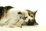 Three-colored Cat Playing with Artificial Mice poster