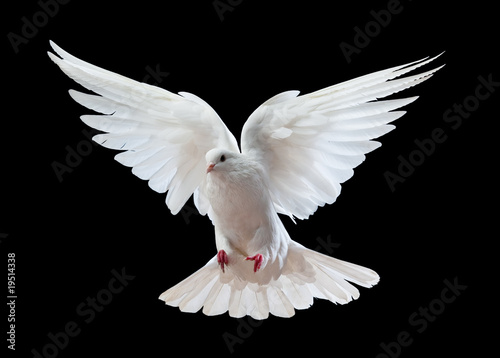 A free flying white dove isolated on a black - 19514338