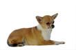 chihuahua à poil court allongé de profil en studio