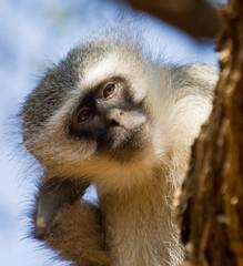Verver Monkey
