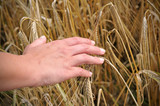 woman's hand touching golden wheat ears