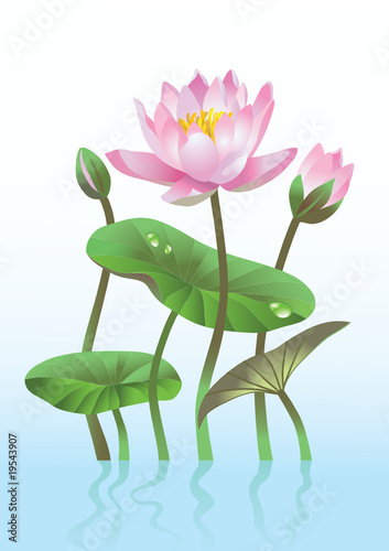 pink lotus flower with reflection
