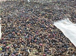 cosecha de aceitunas