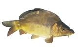 lively big carp
