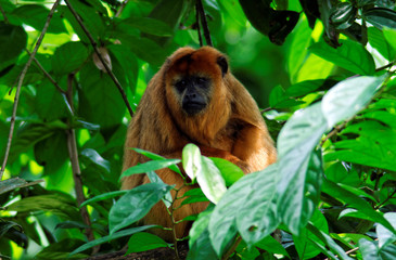 Female Howler Monkey