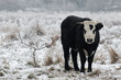 young bull in a wintry field