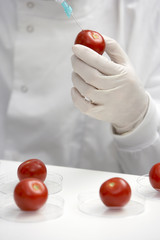Scientist injecting tomato