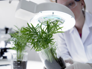 Scientist examining plants in beakers under magnifying lamp
