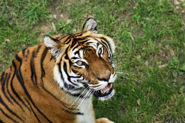 Bengale tiger