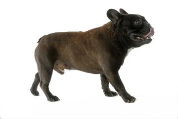 démarche de profil du french bulldog