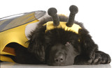 newfoundland puppy dressed up like a bee - twelve weeks old poster