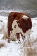 female cow in a snowy field