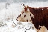 profile of a bull in a wintry field