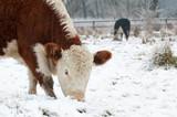 cows grazing in a wintry field