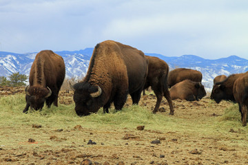 Healthy American buffalo grazing in the West