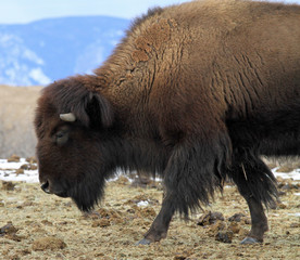 Lone American buffalo in the Rocky Mountains