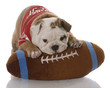 english bulldog puppy with stuffed football - nine weeks old
