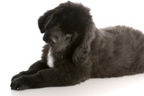 newfoundland puppy laying down - twelve weeks old poster