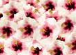 fond fleuri hibiscus