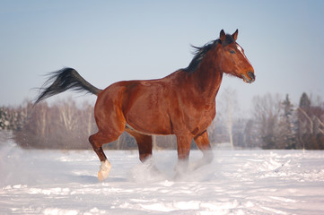 free horse in winter background