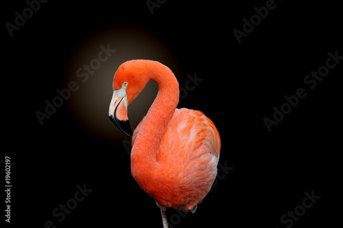 Foto op Aluminium Flamingo American Flamingo isolated on a dark background