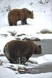 Bären am Wasser