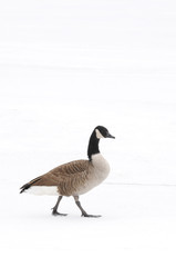 Canada Goose walking alone in the snow